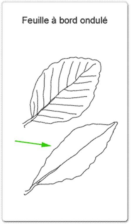 Bien-aimé Identifier un arbre ou un arbuste par ses feuilles - Animateur  SU24