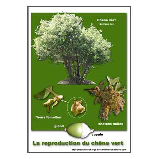 T l charger la planche la reproduction du ch ne vert - Maladie du chene vert arbre ...